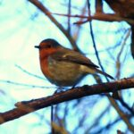 Weekly Photo: Robin