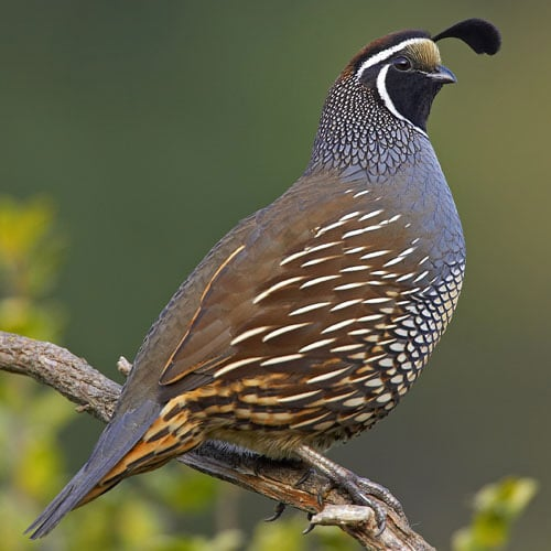 quail photo