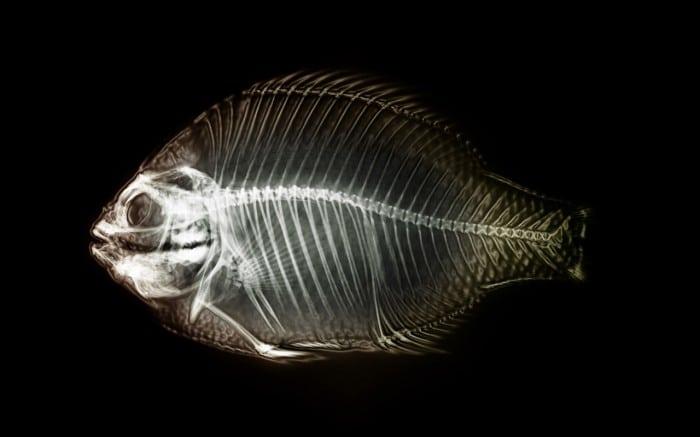 X-ray-fish