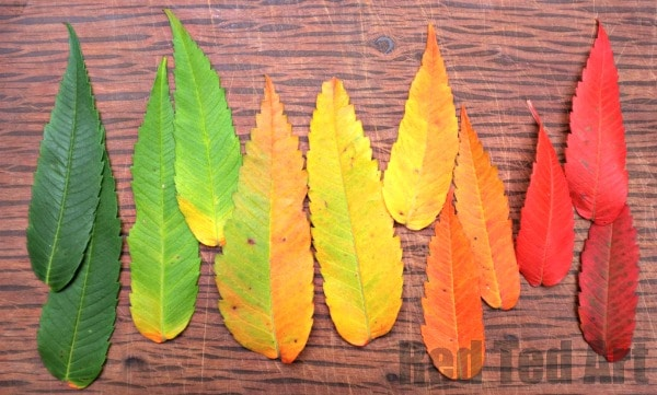 How to dry leaves - look at 6 methods for preserving leaves this Fall/ Autumn.